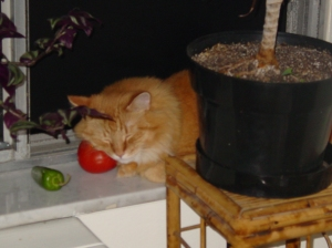 kitty_tomato_web