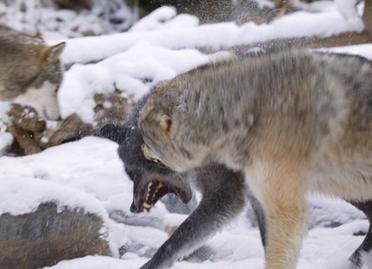 012889277 snarling wolf