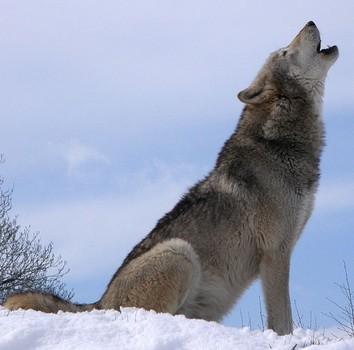 baying_wolf