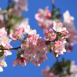 pink-spring-blossoms