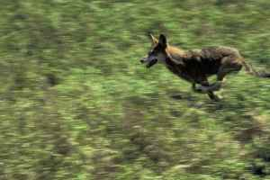 Canis_rufus_red_wolf_in_wildness_running