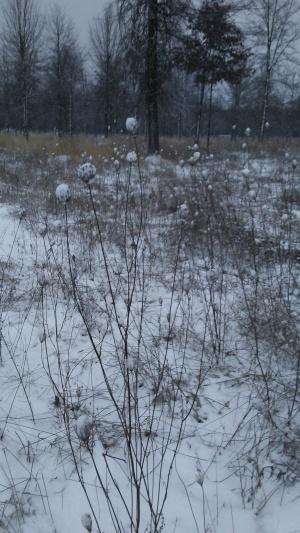 snowatwiregrass2